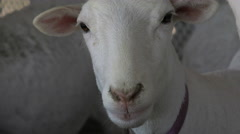 St Croix Sheep Smiling Faces Close Up - stock footage