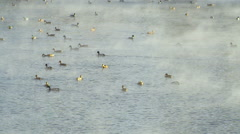Many Ducks. Duck Swimming on Water Stock Footage