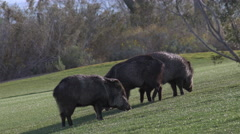 Three Javelinas Rip Up Golf Course Greens With Sharp Teeth - stock footage