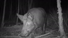 Wild Boar amazingly fast Stock Footage