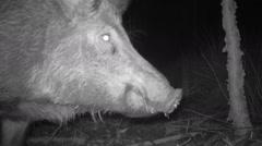 Wild Boar Large Male Arkistovideo