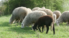 Flock of sheep grazing green grass on meadow, sunny day, cattle graze, close up. - stock footage