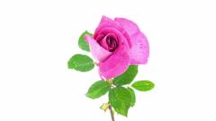 Pink rose flower blooming timelapse Arkistovideo