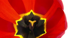 Red tulip flower blooming timelapse close-up macro Stock Footage