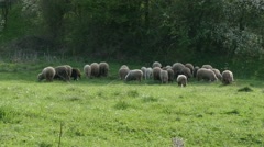 Herd of sheep eating green grass on field,sunny day, forest trees, cattle graze. - stock footage