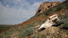 The skull of the animal among the red poppies Stock Footage