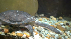 Eastern long neck turtle in an aquarium - stock footage
