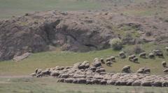 sheep flock migrates through the spring pasture - stock footage