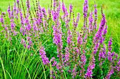 Lythrum salicaria pink Stock Photos