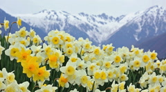 Field of blooming daffodils with mountains in the background. Stock Footage