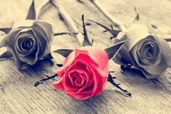 Red rose on black and white background. Stock Photos