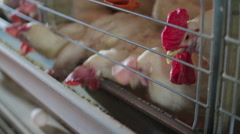 Chicken eggs eating feed in factory - stock footage