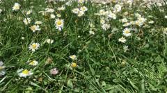 Field of Daisy Flowers, Tuscany Stock Footage