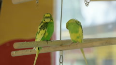 A pair of budgies in a cage. Stock Footage