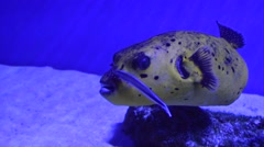Whitespotted puffer swimming close to the sandy bottom in shallow drop off. Stock Footage