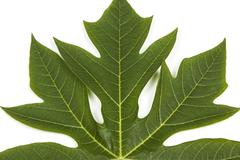 Pattern and Texture of green Pawpaw tree leaf - stock photo