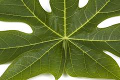 Closeup Pawpaw Tree leaf Patterns and Textures - stock photo