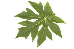 Green Pawpaw Tree leaf on White - stock photo