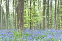Spring forest with bluebells Stock Photos