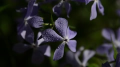 Bluestar, Amsonia ciliata Stock Footage