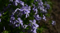Blue phlox. Phlox divaricata Stock Footage