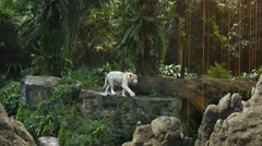 White Tiger Pacing Nervously on a Rock at the Zoo - stock footage