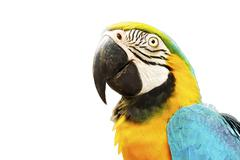 Gold and Blue Macaw Bird Isolated on White Background - stock photo