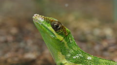 Anolis Lizard Reptile Face Closeup - stock footage