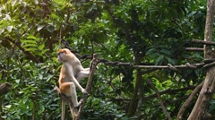 Cute Beige and White Monkey at the Zoo. UltraHD video Stock Footage