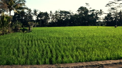 People working on rice field in Bali, Indonesia  Stock Footage