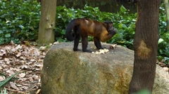 Cute Brown and Black Monkey at the Zoo. UltraHD video Stock Footage