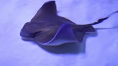 Funny stingrays Stock Footage