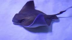 Funny stingrays - stock footage