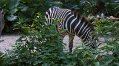 Zebras Grazing at the Zoo. UltraHD 4k footage Stock Footage