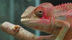 Chameleon Reptile Moving Eyes Stock Footage