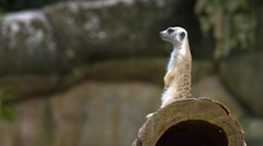 Adult Meerkat Stands Guard over Den at the Zoo Stock Footage