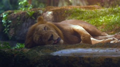 Male Lion Sleeps in the Shade at the Zoo. UltraHD video Stock Footage