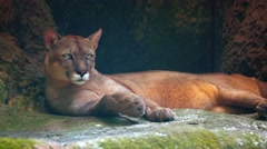 Adult Cougar at a Public Zoo. UltraHD video Stock Footage