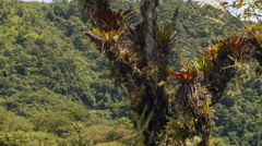 Tilt up a large tree festooned with epiphytes (bromeliads ferns and orchids) in  - stock footage