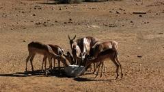 Herd of Impala Licking  Rock Salt Stock Footage