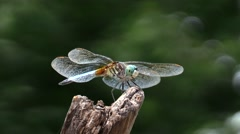 Dragonfly eating a insect while perched on a stick. Arkistovideo