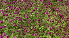 Field of Magenta Bachelor Buttons in a Light Breeze Stock Footage