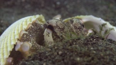 Coconut Octopus hiding in shells 001 Stock Footage