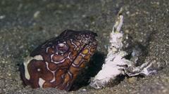 Napoleon snake-eel 001 Stock Footage