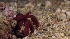 Orang-utang crab 002 Stock Footage