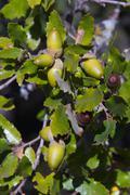 Holm oak Tree Acorn - stock photo