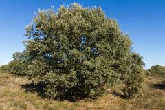 Holm Oak ( Quercus ilex )  tree - stock photo