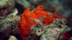 Orange painted frogfish 023 Stock Footage