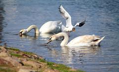 Swan on the pond Stock Photos