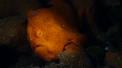 Painted frogfish snooted 001 Stock Footage